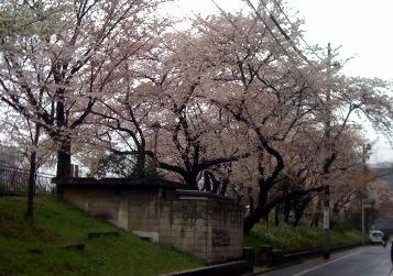 1004桜-2.jpg